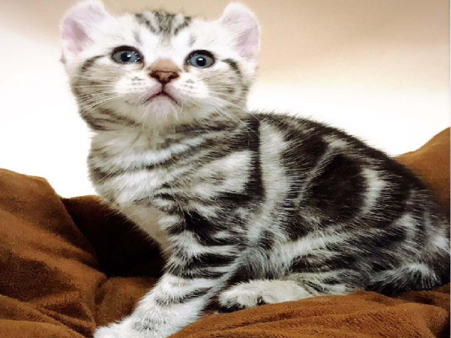 捲耳美短貓